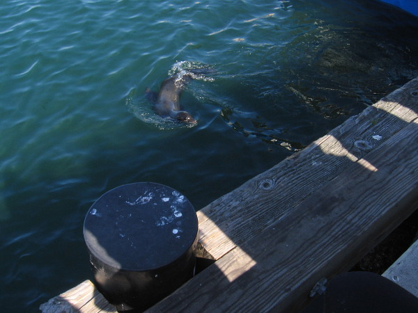It's a playful sea lion! It was hanging out, eating occasional fish scraps tossed its way.