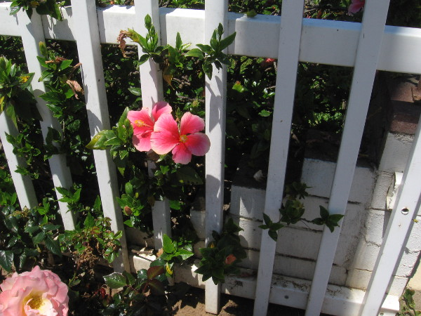 Flowers through a white fence.