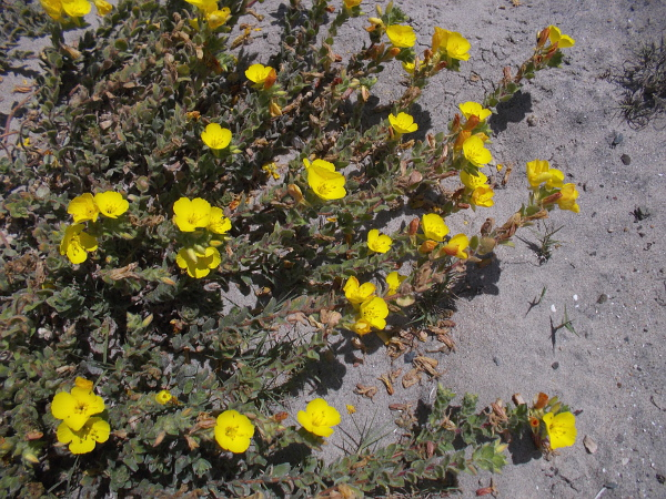 The flowers of beach suncup, or evening primrose, are like bright gems on the sand.