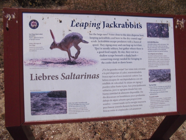 San Diego black-tailed jackrabbits are frequently seen in the dry coastal sage scrub of Silver Strand State Beach.