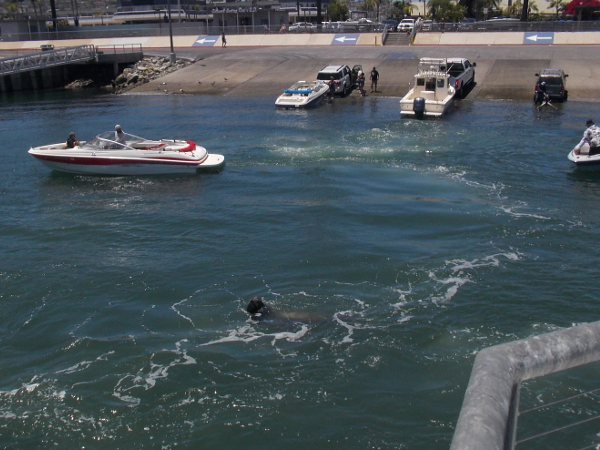 A sea lion goes from boat to boat hoping for fishing bait leftovers.