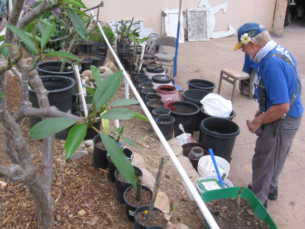 A small plumeria nursery at the Balboa Park Horseshoe Club.