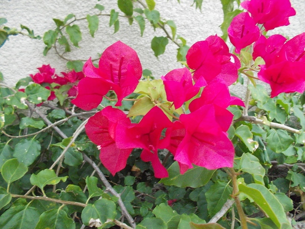 Bougainvillea against a wall.