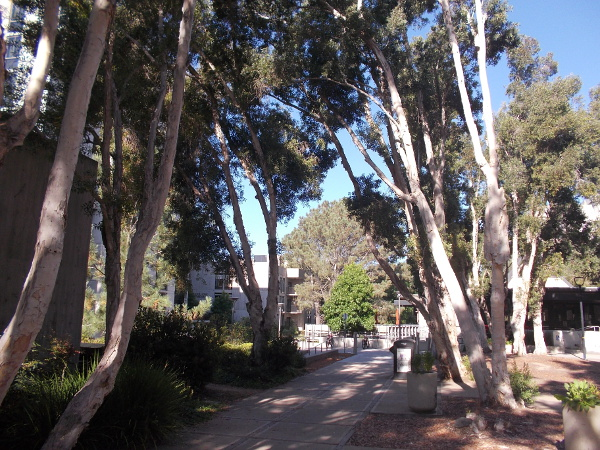 A grove of tall eucalyptus trees near the center of John Muir College, where there's an emphasis on individual study.