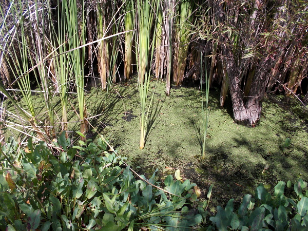 Duckweed in pooled river water.
