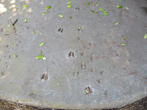 Deer tracks approach the sculpted water hole, among the tracks of other wild animals.