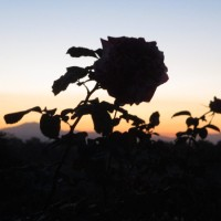 Sunrise at the Balboa Park rose garden.