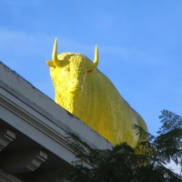 Yellow bison on Golden Hill rooftop!