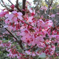 Cherry blossoms appear in Balboa Park!